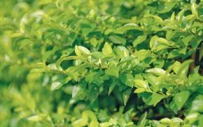 Картинка листья, куст, зеленые, листочки