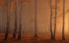 Картинка осень, лес, свет, природа, березы