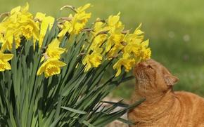 Обои нарциссы, рыжий кот, цветы, кошка