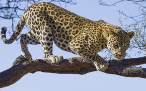 Картинка leopard, tree, branch, feline