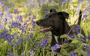 Картинка цветы, собака, колокольчики
