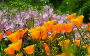 Картинка Природа, Весна, Nature, Spring, Эшшольция, Калифорнийский мак