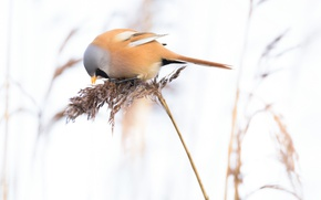 Картинка птица, растение, хвост, синица усатая