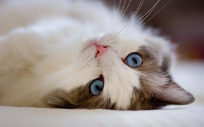 Картинка Макро, Кошка, Cat