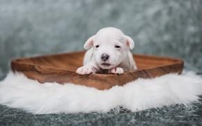 Обои щенок, дом, уют, собака