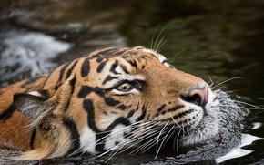 Картинка тигр, зверь, природа