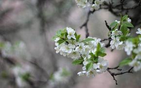 Картинка ветка, весна, слива
