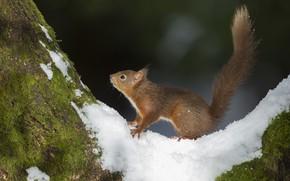 Картинка снег, дерево, белка
