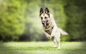 Картинка природа, друг, собака, Немецкая овчарка