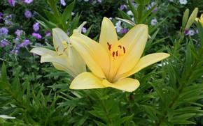 Картинка лето, желтая, петуния, декоративная лилия
