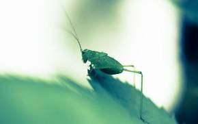 Картинка природа, лист, кузнечик зелёный