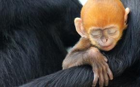 Картинка обезьяна, примат, Лангур Франсуа