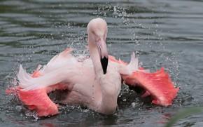 Картинка капли, брызги, природа, птица, фламинго, водоем