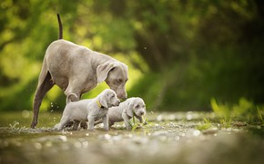 Картинка Веймаранер, двойняшки, Веймарская легавая, малыши, боке, щенки, прогулка, собаки