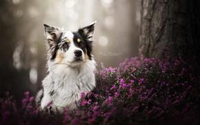 Картинка морда, собака, боке, вереск, Бордер-колли