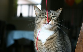Картинка bite, muzzle, situation, whiskers, ribbon, ears, funny, Cat, fur, feline, animal