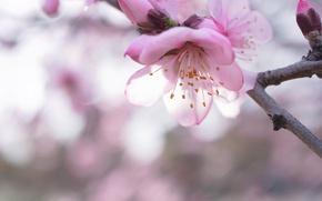 Картинка макро, ветка, весна, сакура