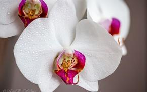 Картинка макро, орхидеи, капли воды