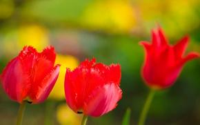 Картинка природа, тюльпан, весна, лепестки, сад, луг