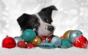 Картинка морда, украшения, фон, шары, игрушки, собака, Рождество, Новый год, Бордер-колли, щарики