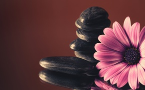 Картинка камни, colorful, flowers, гербера, purple, gerbera