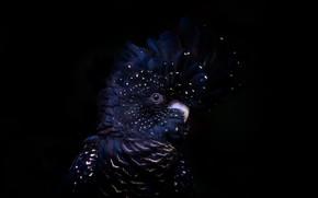 Картинка фон, птица, Red-tailed black cockatoo