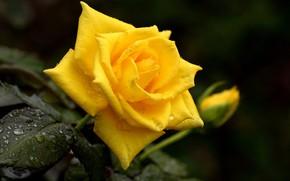Картинка капли, желтый, роса, роза, бутон