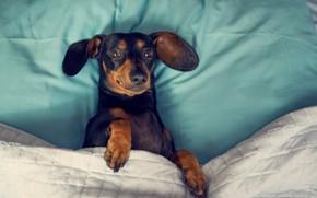 Картинка кровать, Собака, такса, собака в кровати