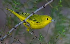 Картинка птица, ветка, клюв, жёлтая древесница