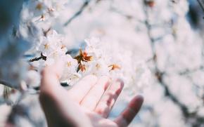 Картинка цветы, дерево, рука, пальцы, белые