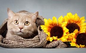 Картинка кот, взгляд, подсолнух