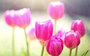Картинка природа, тюльпан, весна, лепестки