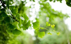 Обои листья, ветка, гинкго