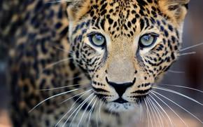 Обои дикая кошка, nature, крупный план, travel, leopard, wallpaper., боке, размытость, хищник охотник, animals, спокойный внимательный, ...