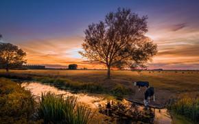 Картинка поле, лето, закат, природа, река, коровы