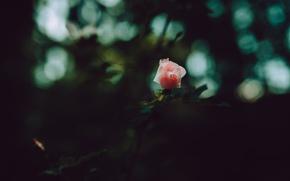 Картинка макро, розовый, роза, лепестки, бутон