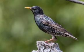 Картинка птицы, пень, скворец