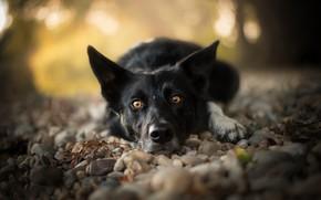 Картинка взгляд, морда, камни, собака