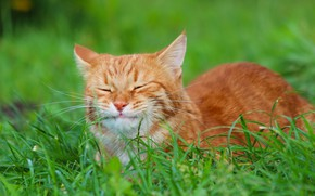 Обои степна, кошки, рыжий кот, природа, стёпка, осень, кот