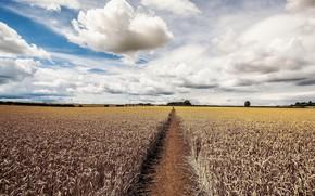 Обои колосья, небо, поле, лето