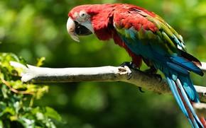 Картинка природа, ветка, попугай, ара