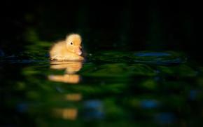 Картинка малыш, уточка, duck