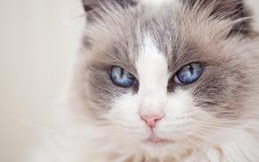 Картинка Рэгдолл, голубые глаза, мордочка, кошка, взгляд, портрет