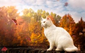 Обои осень, кошка, листья, белый кот