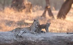 Обои леопард, Африка, котёнок, бревно, боке, Замбия, детёныш, Lower Zambezi National Park