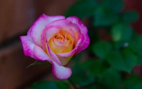 Картинка Боке, Bokeh, Розовая роза, Pink rose