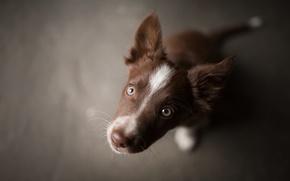Обои мордочка, коричневый, щеночек, Tissaia