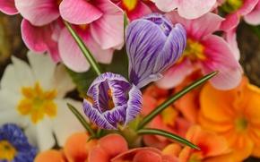 Картинка Цветочки, Flowers, Крокусы, Crocuses