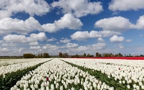 Картинка облака, деревья, пейзаж, цветы, природа, тюльпаны