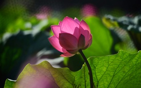 Картинка цветок, листья, свет, цветы, настроение, розовый, нежный, размытие, лепестки, бутон, лотос, тени, лотосы